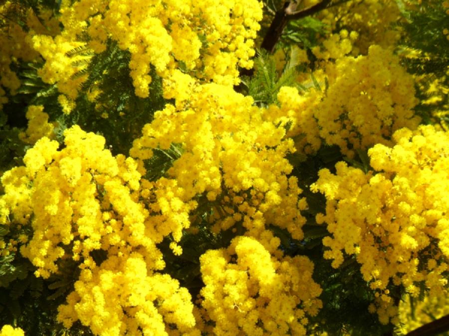 Mimosa - French Riviera - Mandelieu